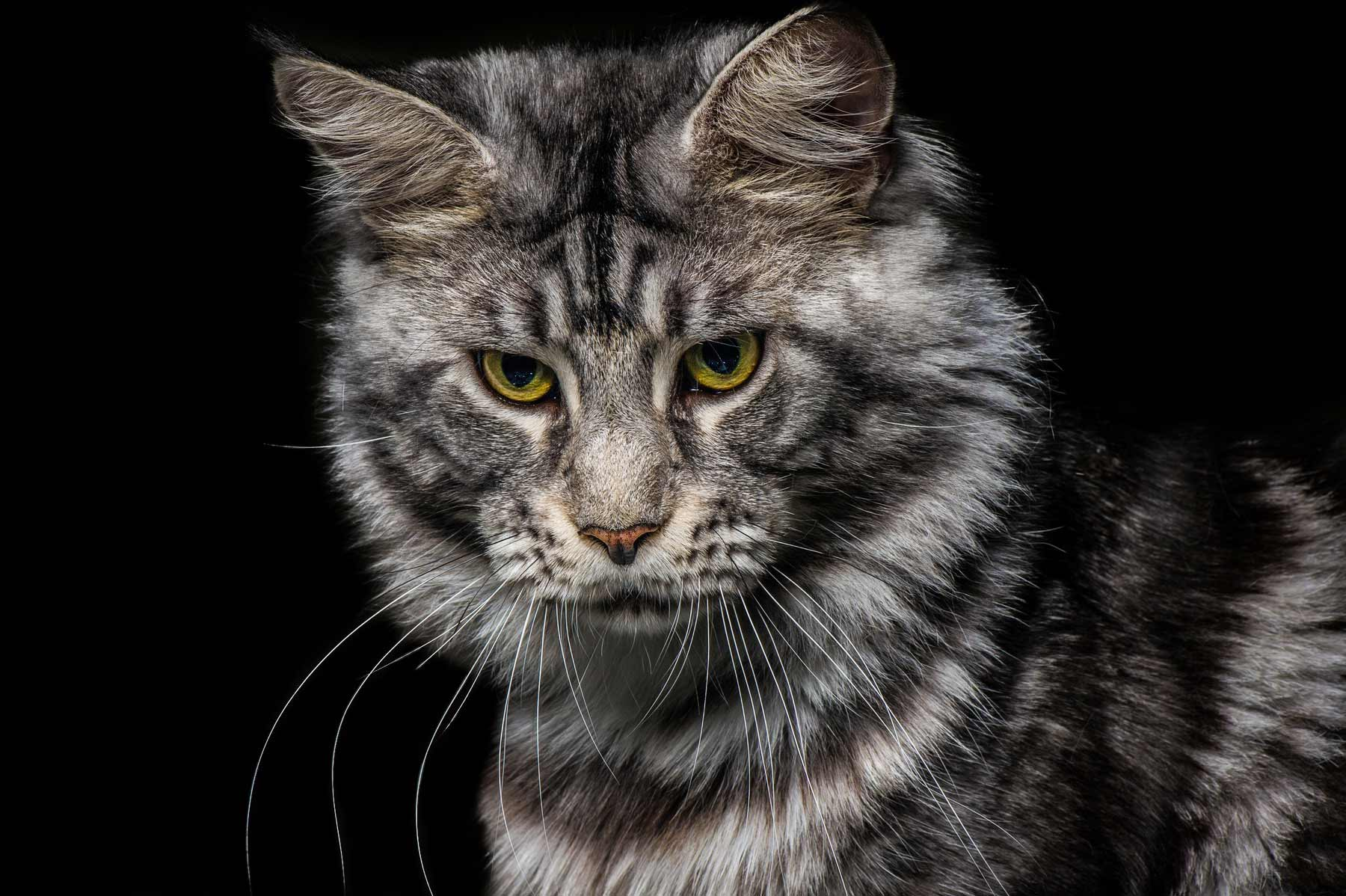 Top-Animals-Shooting-Photo-Evian-Thonon-Maine-Coon-D3S_7100-1