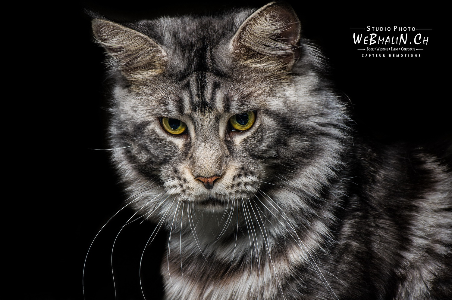 Portfolio - Animal Domestique - Chat Maine Coon